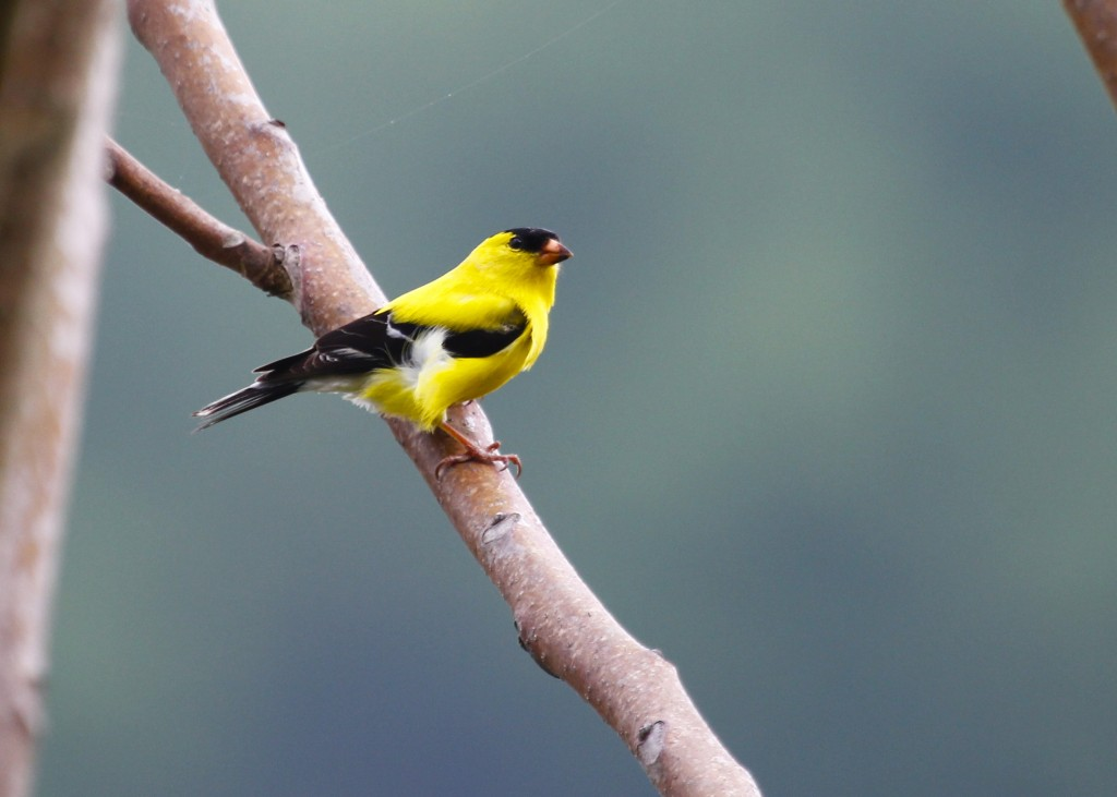 An extremely buttery Goldfinch at Wallkill River NWR 5/11/13.
