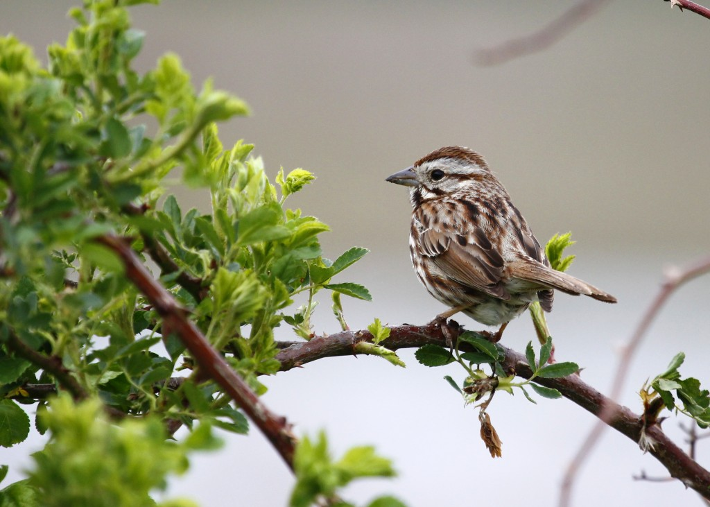 It has been fun and challenging getting back to shooting song birds. Song Sparrow at Wallkill River NWR, 5/11/13.