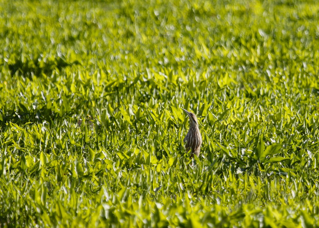 I had my first of season AMERICAN BITTERN shortly after arriving at Haven Road this morning.