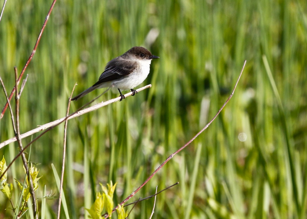 Always photogenic, Eastern Phoebe at Haven Road, 5/17/13.