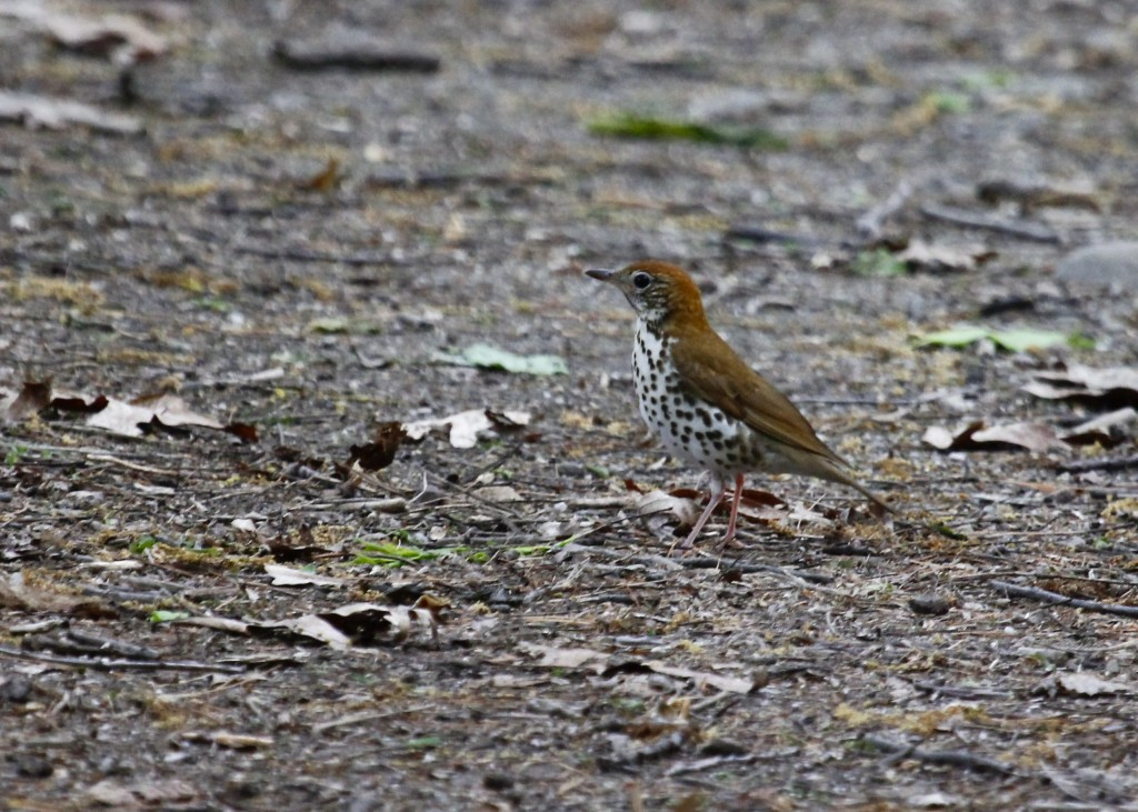 This was my first opportunity to photograph a Wood Thrush. This is a bit noisy and also a little soft because of the low light. Nature Trail, Basha Kill 5/17/13.