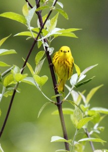 These little Yellow Warblers are everywhere right now, and I think they take nice photos. This one was at the Nature Trail, 5/17/13.