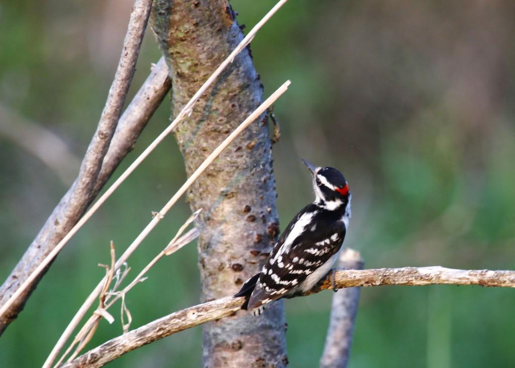 Downy Woodpecker at Wallkill River NWR 5/22/13.
