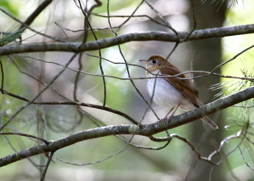 Veery at the Stop Sign Trail, Basha Kill WMA 5/26/13..