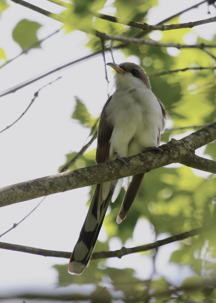 This is the bird I wanted to see more than any on this day - Yellow-billed Cuckoo at the Nature Trail, Basha Kill WMA 5/26/13.