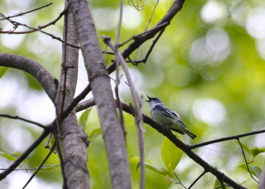 A singing Cerulean Warbler at the Nature Trail, 5/26/13.