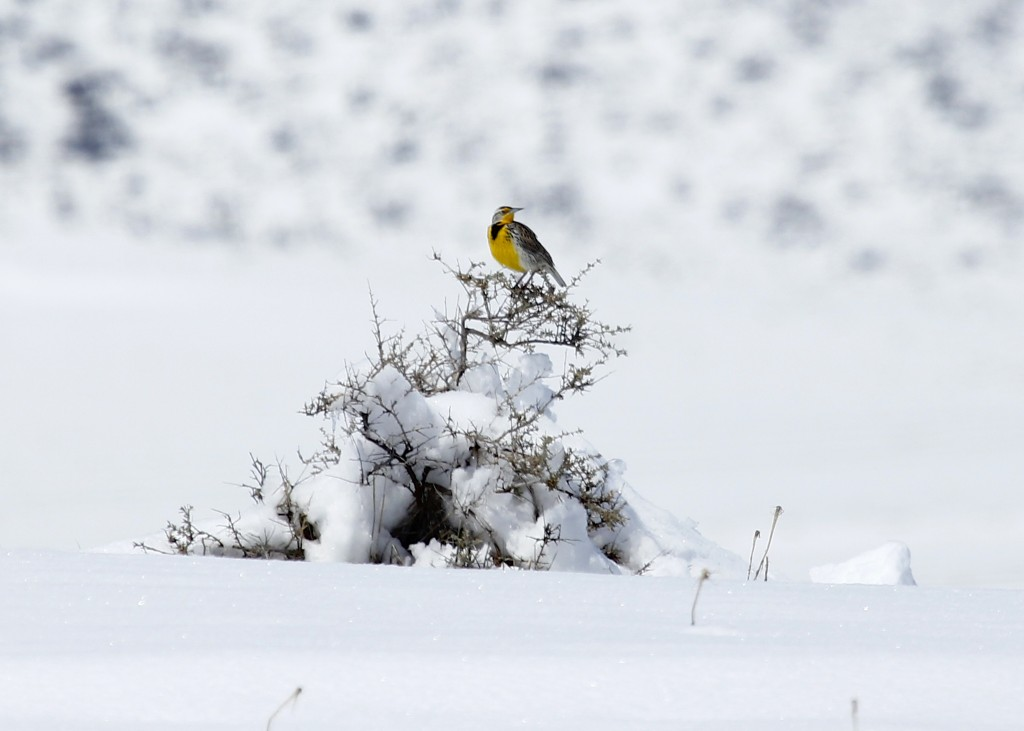 We saw MANY Western Meadowlarks while we were there. Here's one in the snow at Cathie Fromme Prairie in Fort Collins CO, 5/2/13.