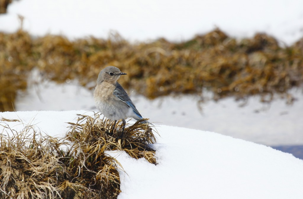 Female Mountain Bluebird on a snowy day at Cathie Fromme Prairie in Fort Collins CO, 5/2/13.