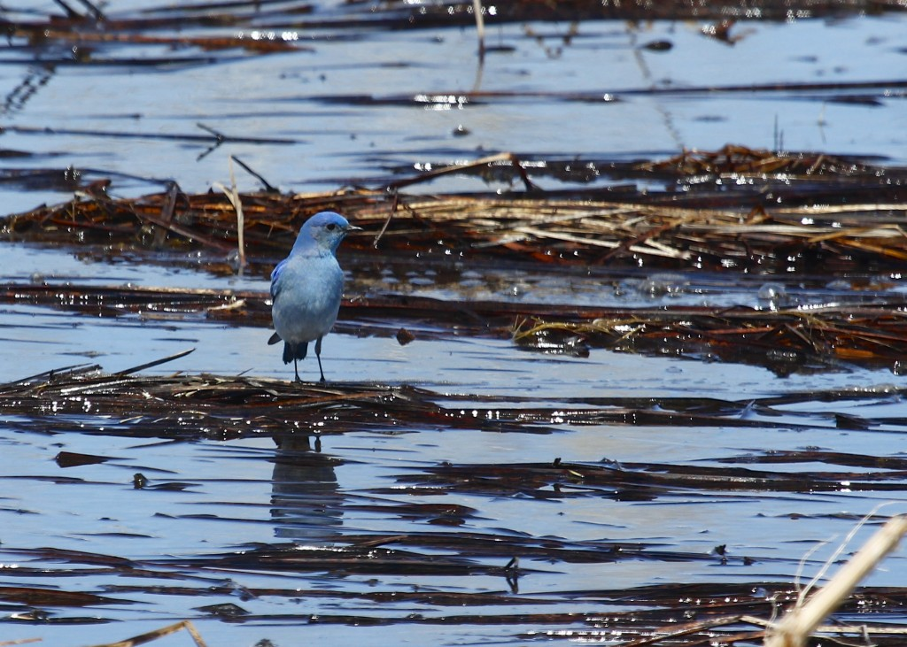 Male Mountain Bluebird at Cathie Fromme Prairie 5/2/13.