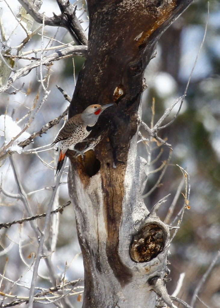 I would have liked to get a better shot of the red-shafted  Northern Flicker. We saw many of them but this was my best shot. Cathie Fromme Prairie 5/2/13.
