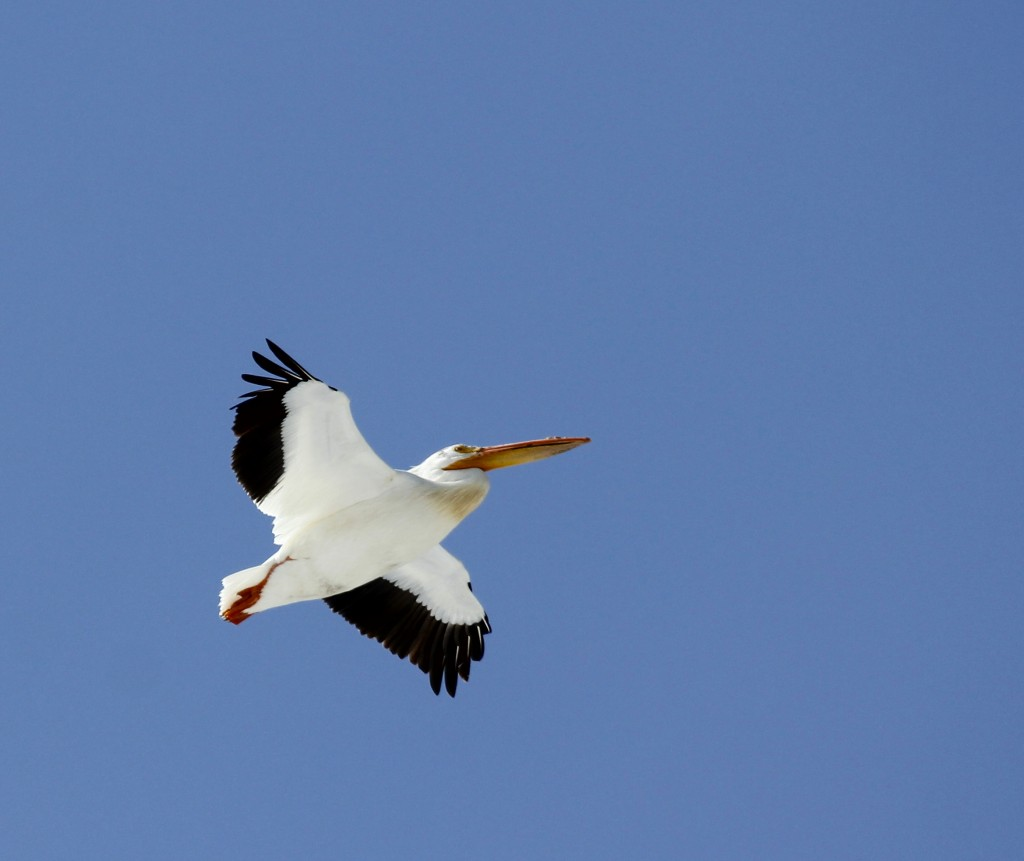 I don't love this photo, but I didn't think a top ten from our week in Colorado would be complete without an American White Pelican. Loveland Colorado, 5/2/13.