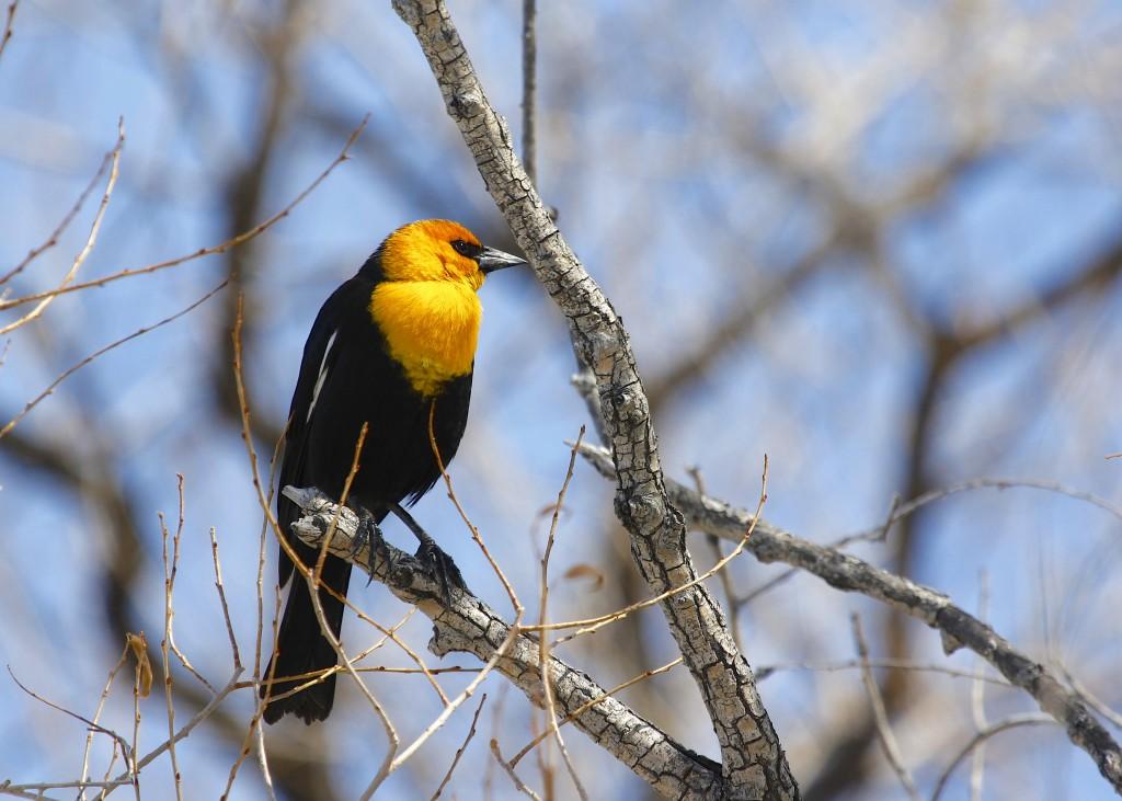 Yellow-headed Blackbird at Cattail Pond in Loveland Colorado, 5/2/13.