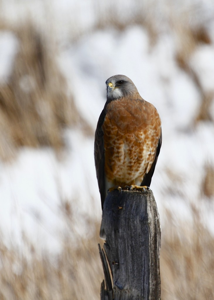 We found this beautiful Swainson's Hawk on the side of the road in Loveland CO, 5/2/13.