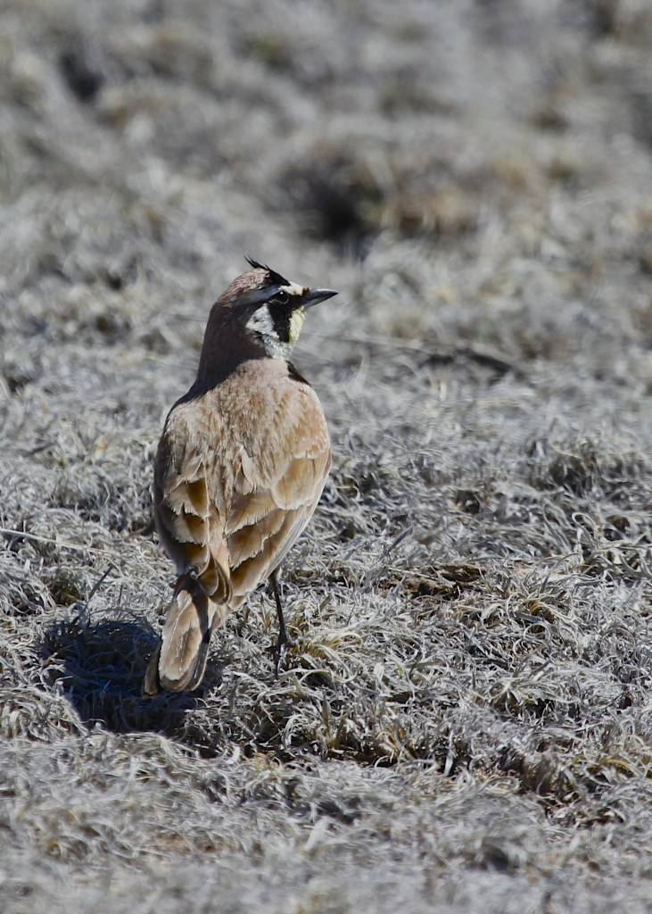 "Horned Lark at Pawnee Grasslands, 5/3/13. This is the best look I've ever gotten of the ""horns"" of the Horned Lark."