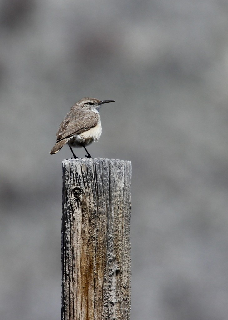 This was an exciting bird for me - Rock Wren at Pawnee Grasslands, 5/2/13.