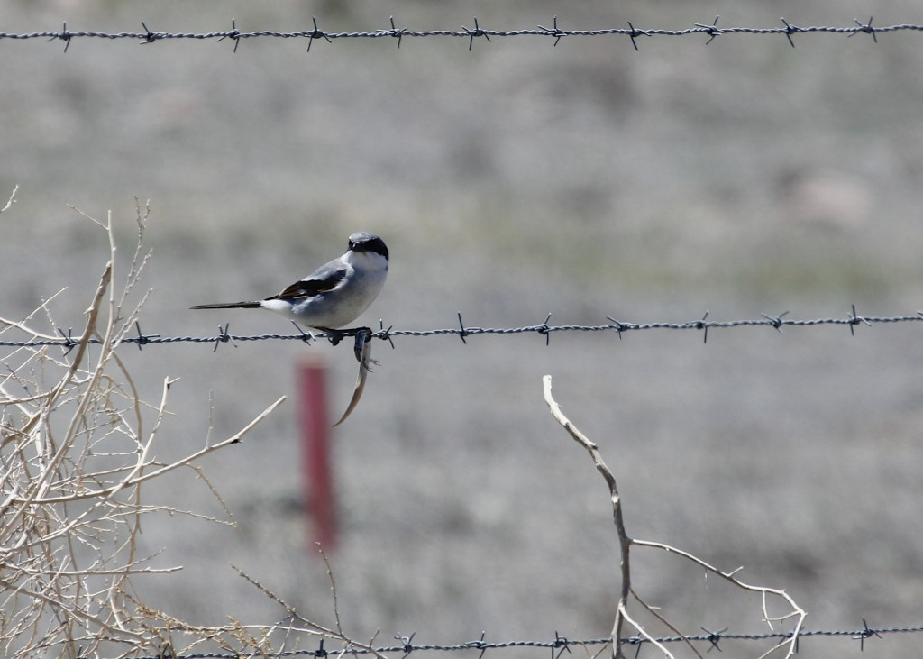 The Loggerhead Shrike was  probably my favorite bird of the trip. We saw several while we were there, this one (with a meal) was found at Pawnee Grasslands, 5/3/13.