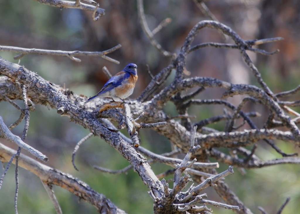 This image is a little soft but I like the bird - Western Bluebird at