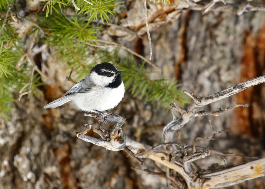 I was waiting to see a Mountain Chickadee, I was not disappointed at Rocky Mountain National Park - Lumpy Ridge Trail, 5/5/13.