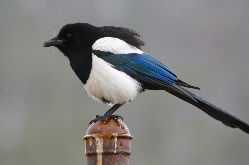 This Black-billed Magpie was so close I had trouble keeping the bird in frame. Rocky Mountain NP 5/5/13.