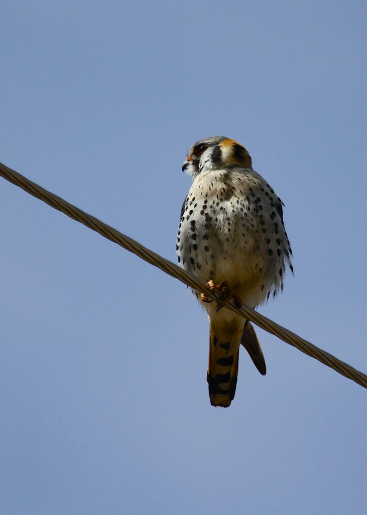 American Kestrel by Horsetooth Reservoir, Larimer County CO. 5/6/13. Photo by Tricia.
