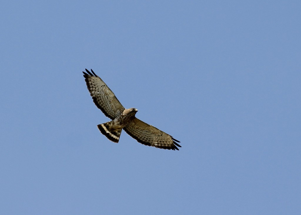 This is my first photo of a Broad-winged Hawk that was not a speck in the sky. Bobcat Ridge in Fort Collins CO, 5/6/13.