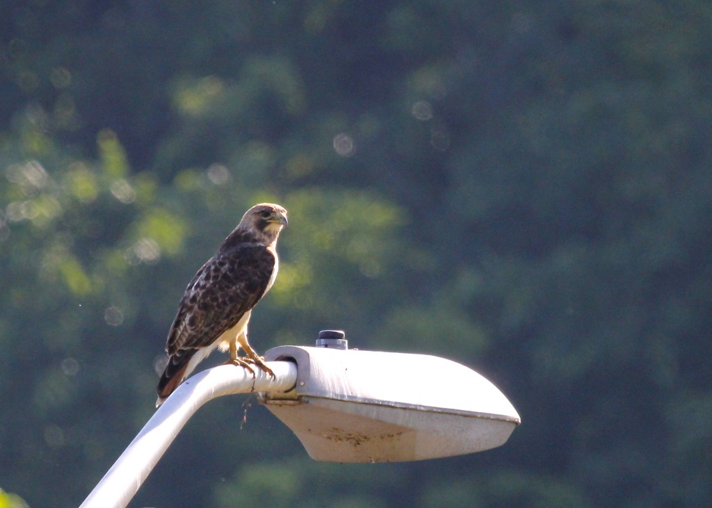 I love the markings on this bird, particularly the very light head and the