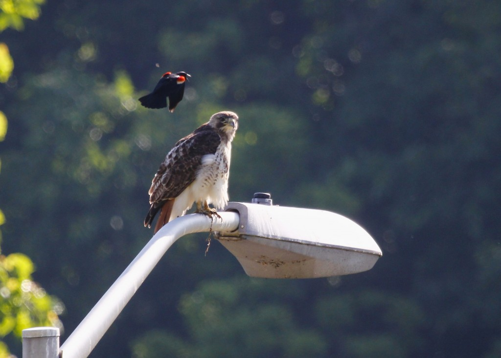 I sat on a rock and watched this bird for a good while. Periodically a Red-winged Blackbird would dive-bomb the hawk...