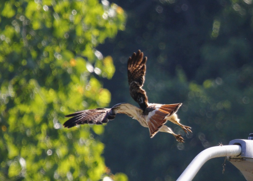 ...eventually the hawk had had enough and took off, giving me a great look at its gorgeous red tail.