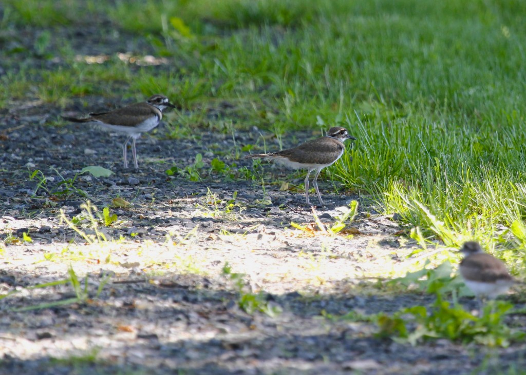Three of four Killdeer out at Kenridge Farm, 6/1/13.