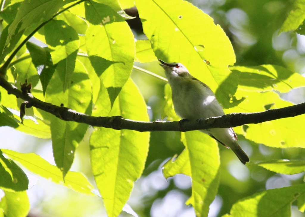 I spent some time with this bird, waiting for it to get into some sunlight. Red-eyed Vireo at Sterling Forest SP 6/8/13.