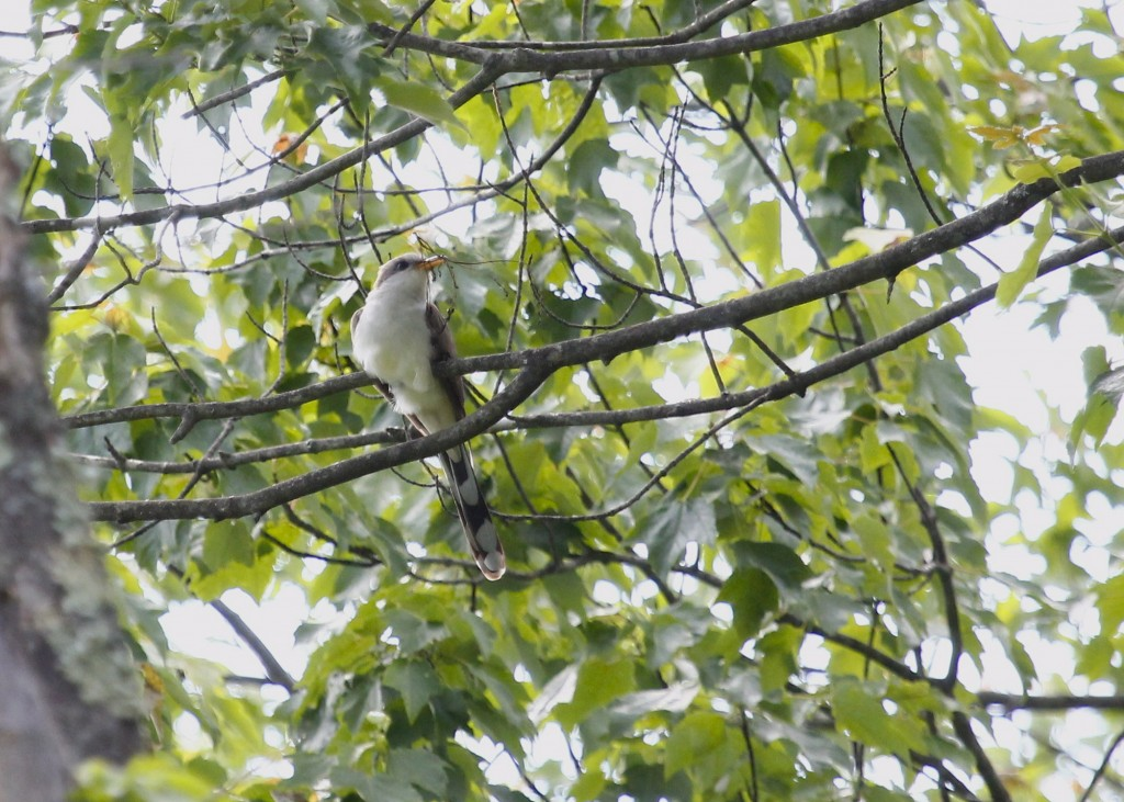 Yellow-billed Cuckoo at Basha Kill WMA, 6/8/13.