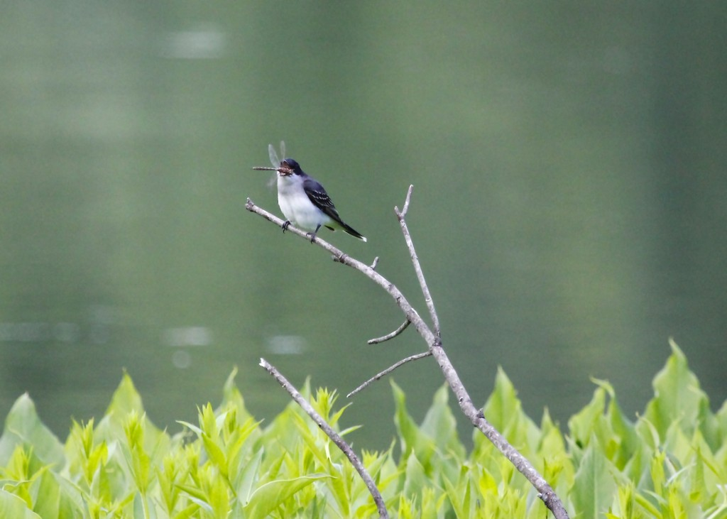 I had to include this shot of an Eastern Kingbird snagging a dragonfly from its perch. Deli Fields at Basha Kill WMA 6/8/13.