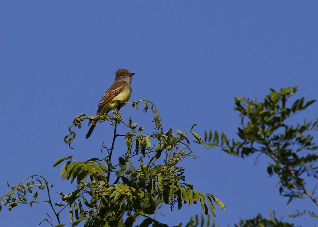 A Great Crested Flycatcher as I was leaving the Appalachian Trail near Route 94, 6/15/13.