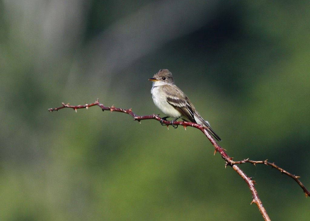 My favorite photo of the day - Willow Flycatcher at Wallkill River NWR 6/15/13.