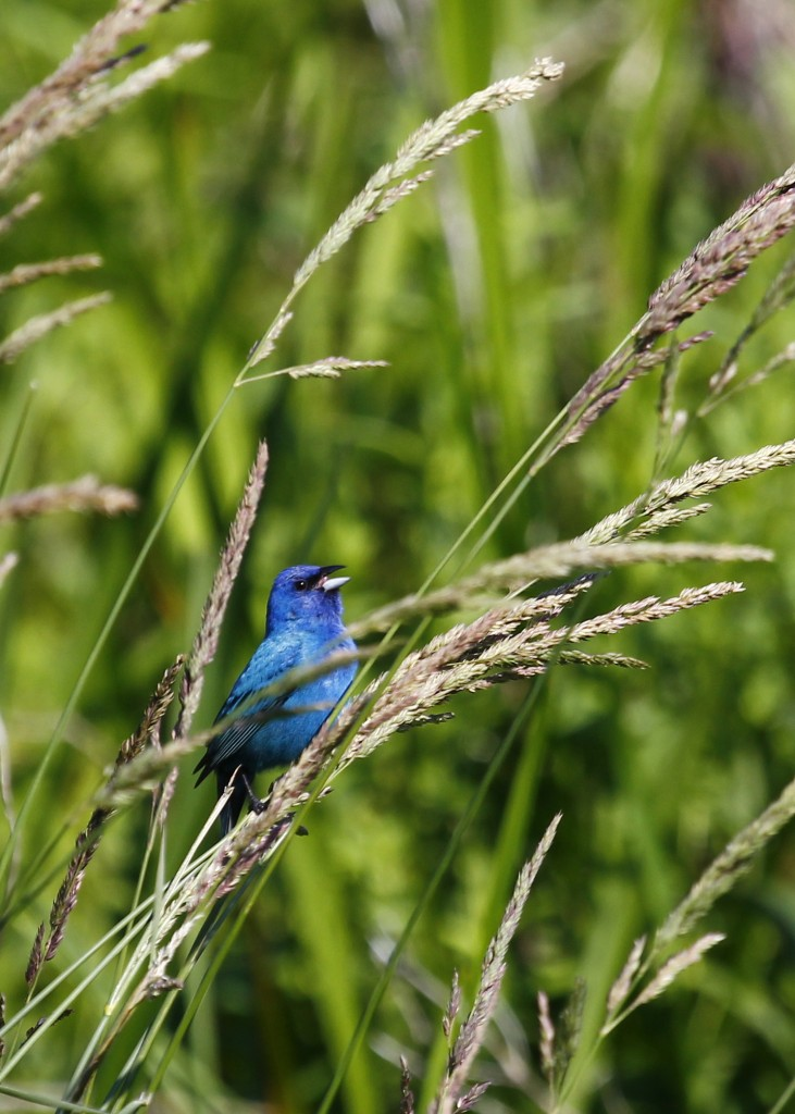 Indigo Bunting at Wallkill River NWR 6/15/13.
