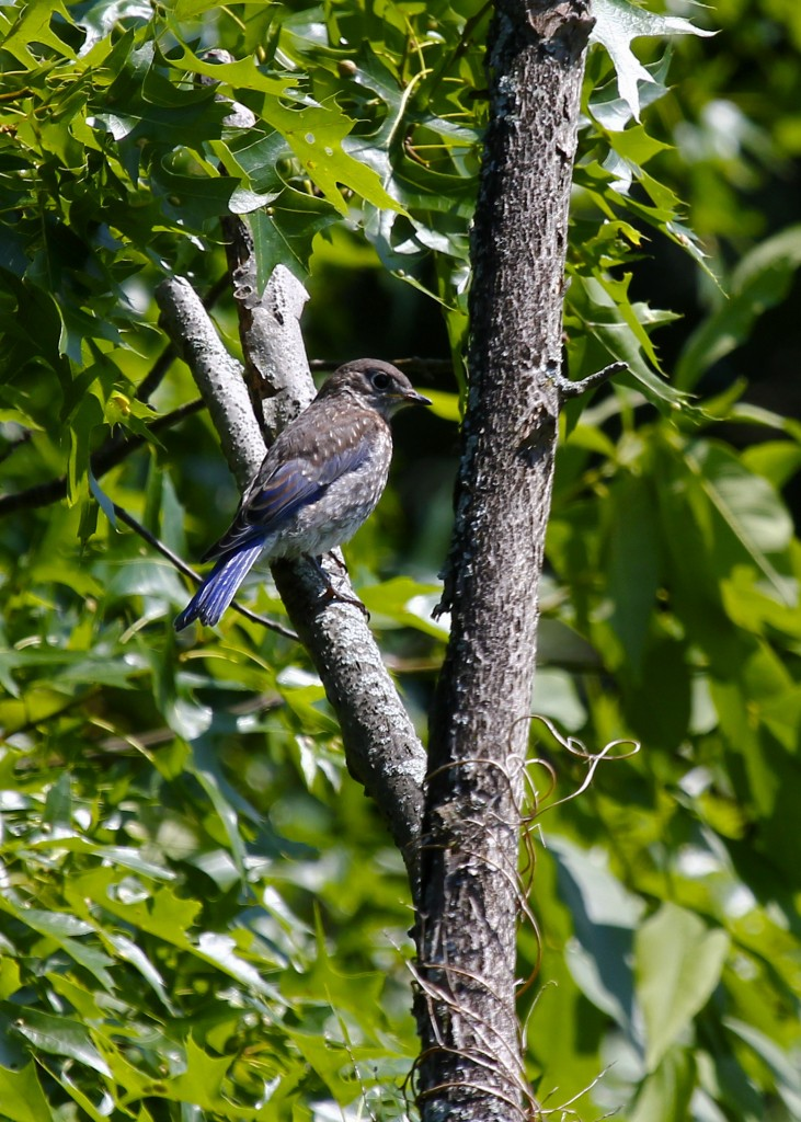 I was at first glance confused by this young Eastern Bluebird. Wallkill River NWR 6/15/13.