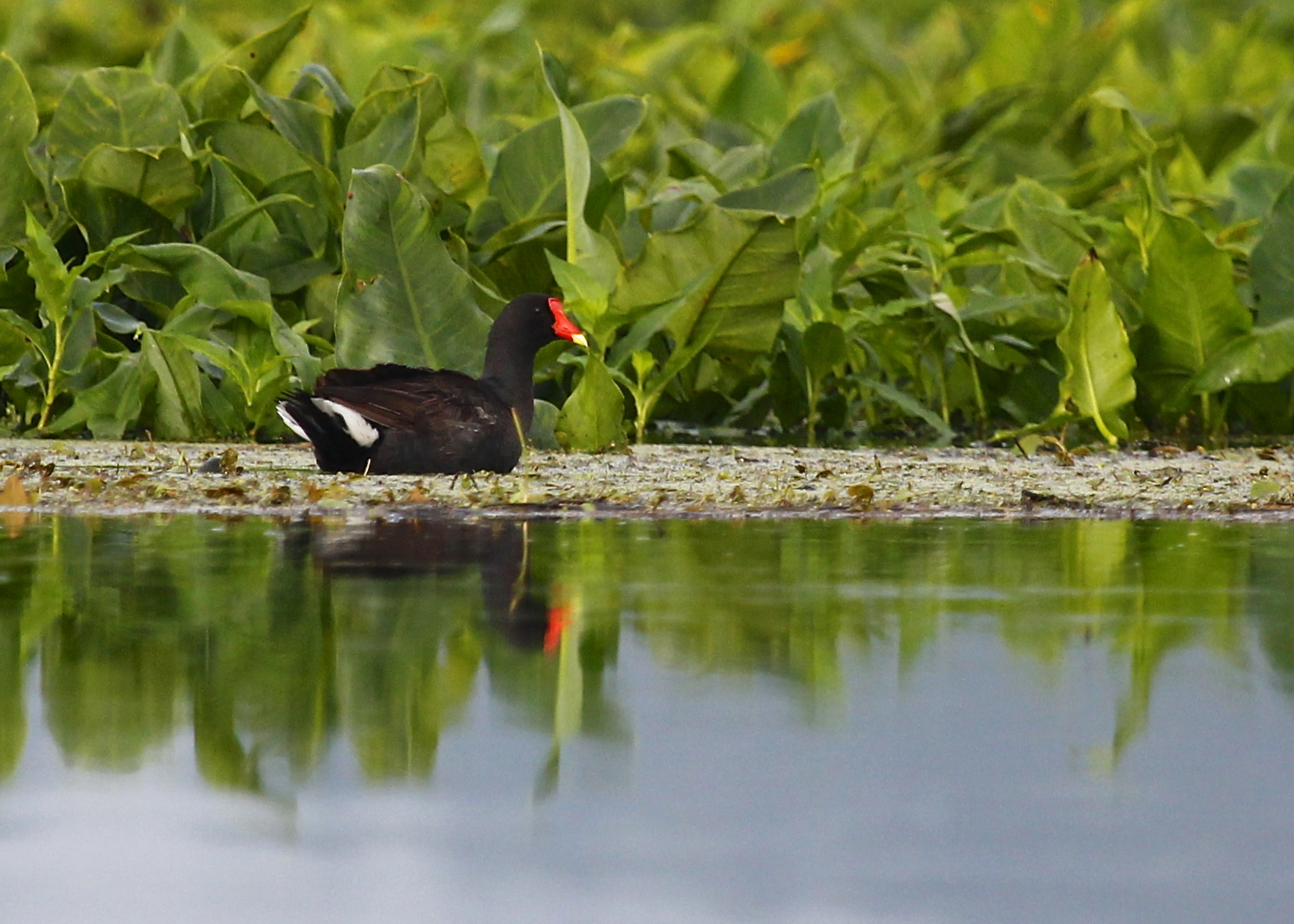 I heard this bird long before I saw it. I am thrilled to finally get a decent shot of a Common Gallinule. Basha Kill 7/4/13.