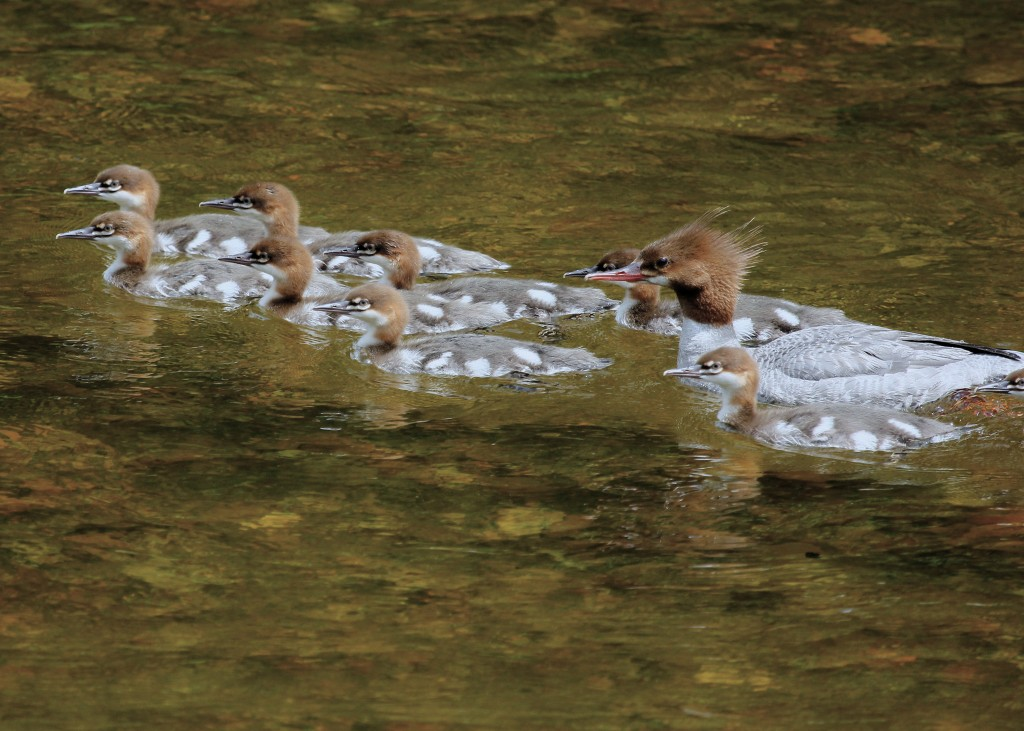 Common Mergansers in Keene NY, 7/5/13. I am not sure if it was the color of the rocks underneath or the evening light, but all my photos have a very orange tone to them. I adjusted some levels  to get a somewhat decent result.