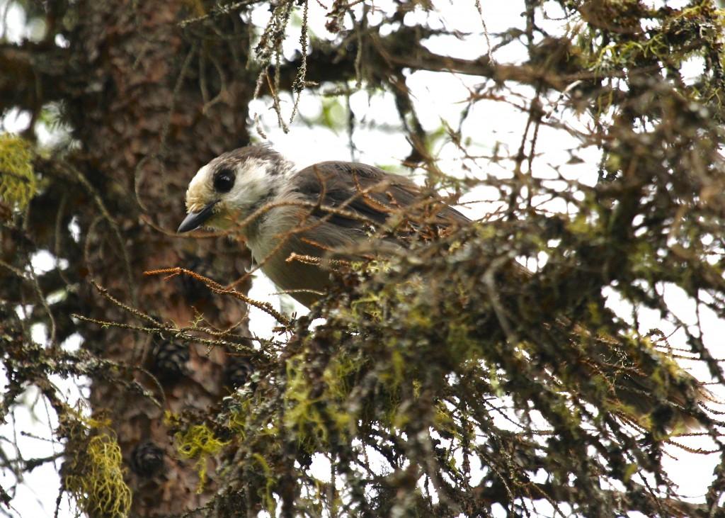Adult Gray Jay at Bloomingdale Bog, 7/5/13.