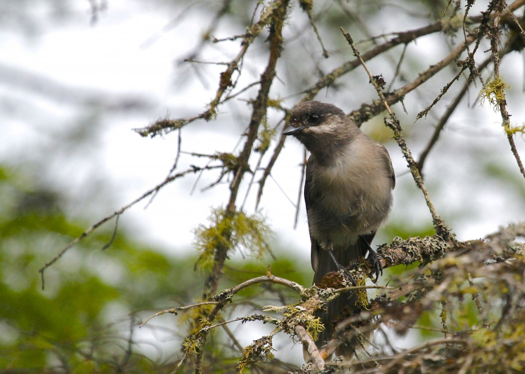 Juvenile Gray Jay at Bloomingdale Bog, 7/5/13.