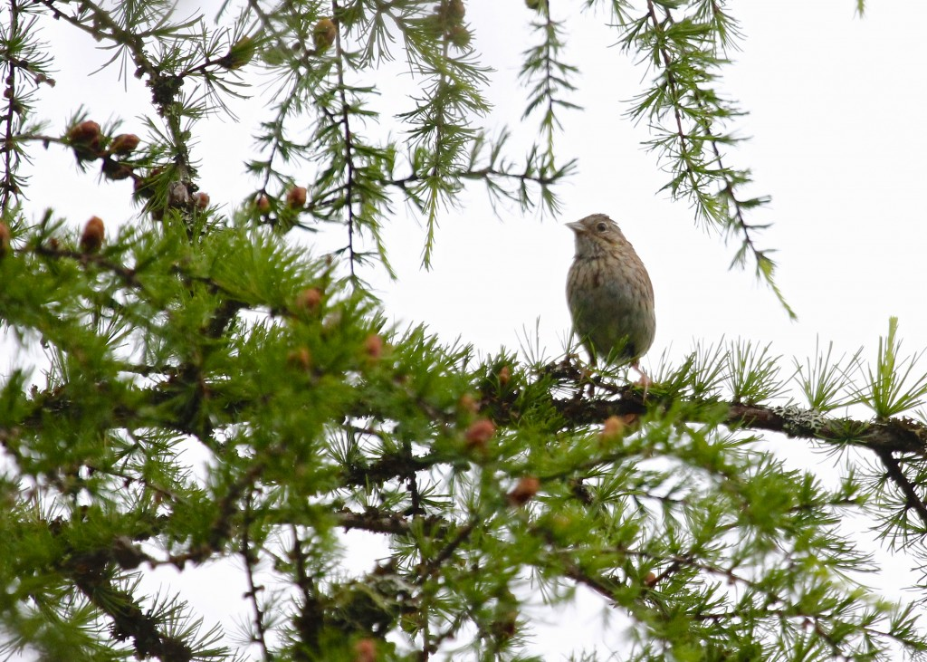 Lincoln's Sparrow at Bloomingdale Bog, 7/5/13.