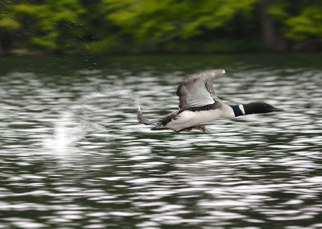 I guess loons are a heavy bird, so they require a long running, flapping take-off.