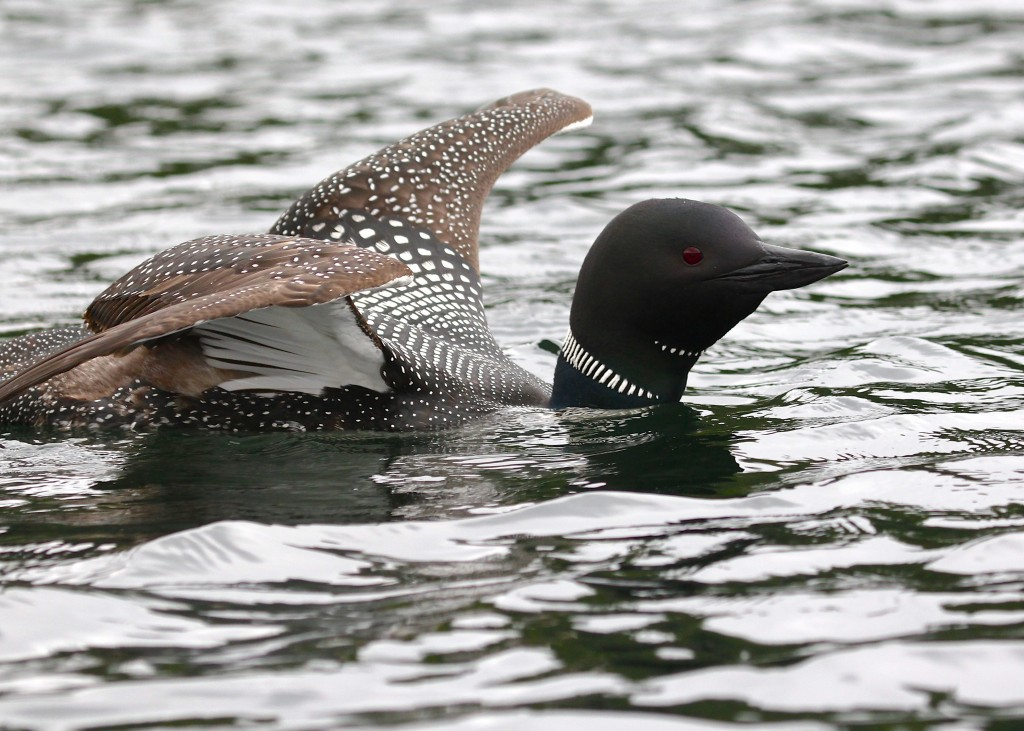 The loons were very active all around me - I was panicking trying to take photos!