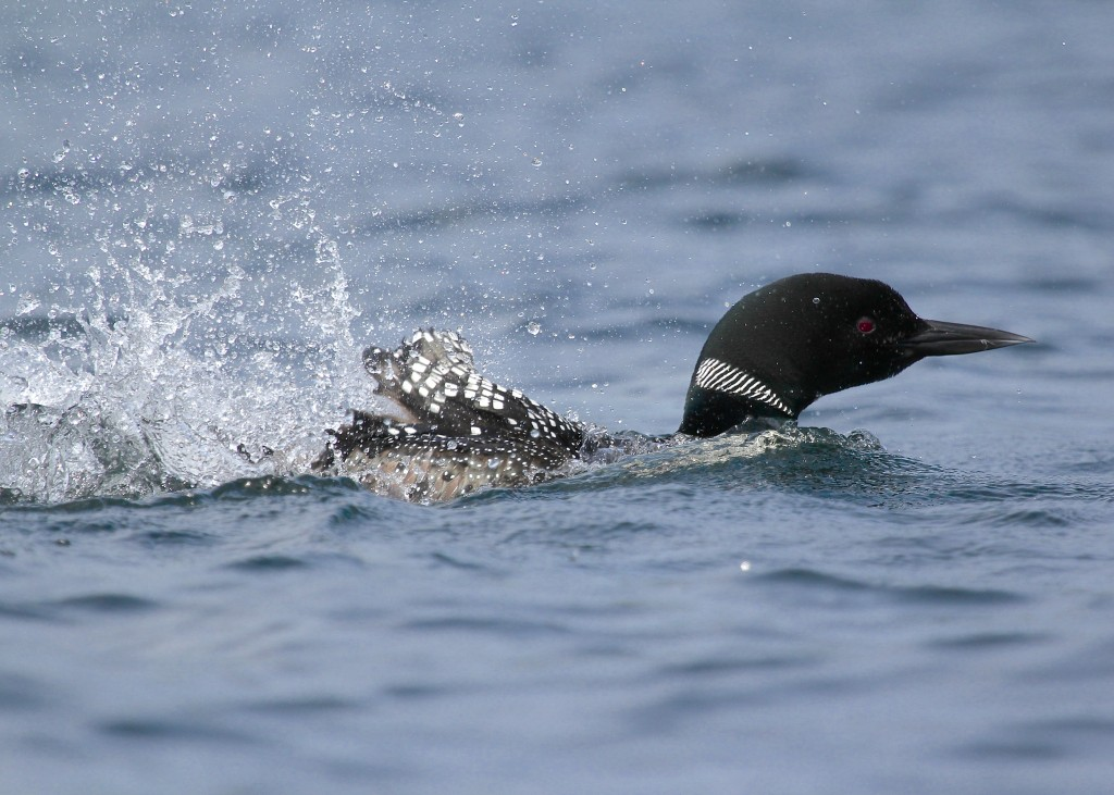 Common Loon splashing at Follensby Clear Pond, 7/6/13.