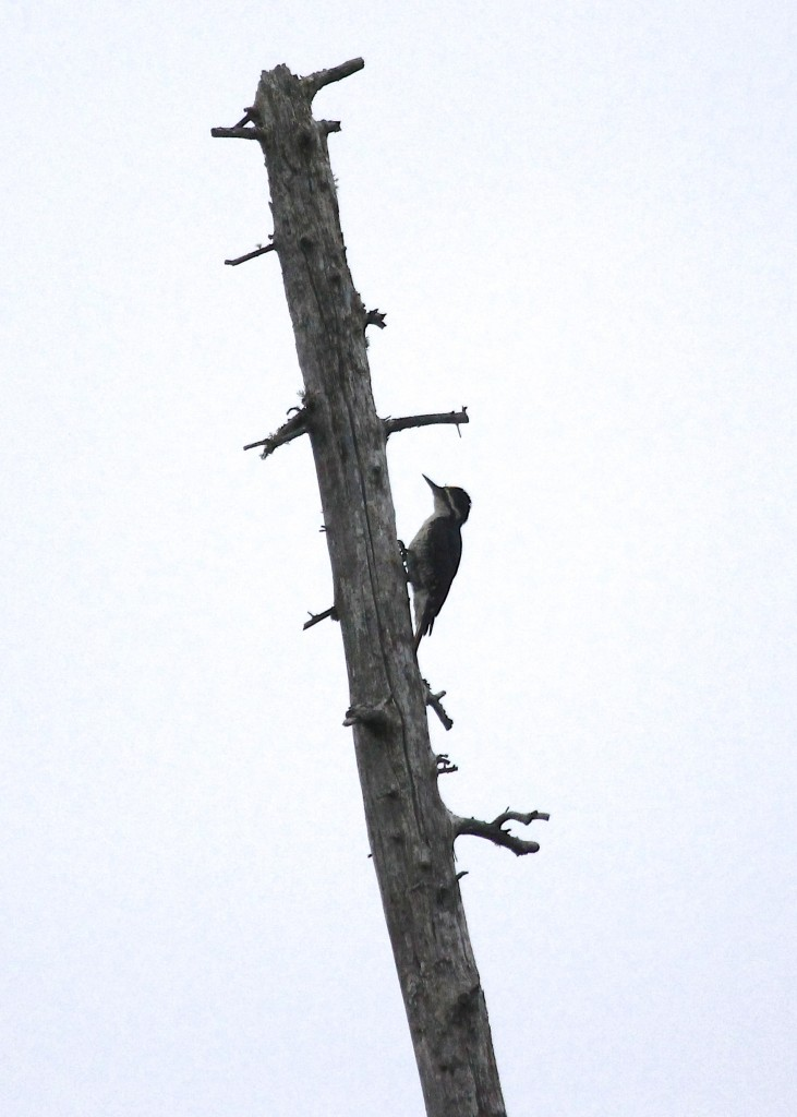 Black-backed Woodpecker at Bloomingdale Bog, 7/7/13.