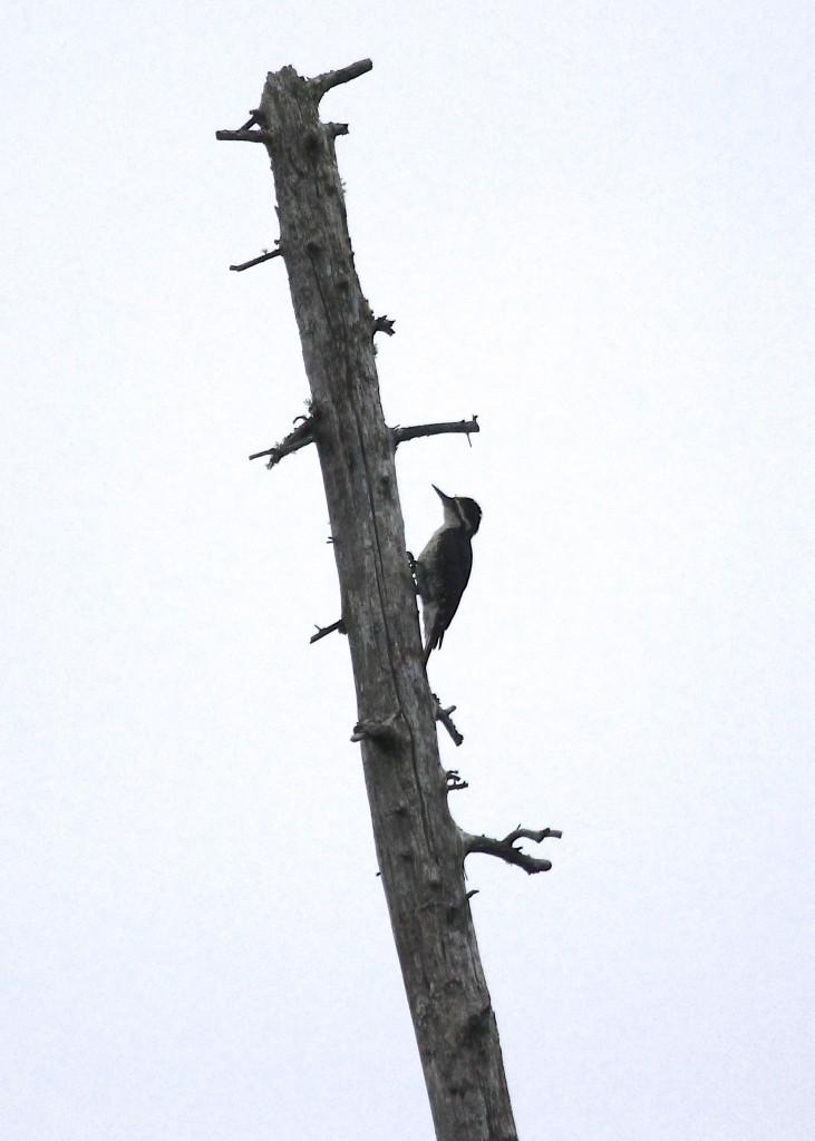 Black-backed Woodpecker at Bloomingdale Bog, 7/7/13.