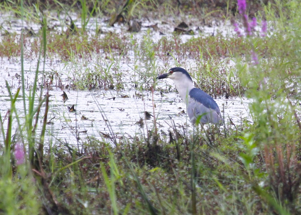 One of two Black-crowned Night Herons at Wallkill River NWR, 7/14/13. This one was in a small pool just to the left of the viewing platform.