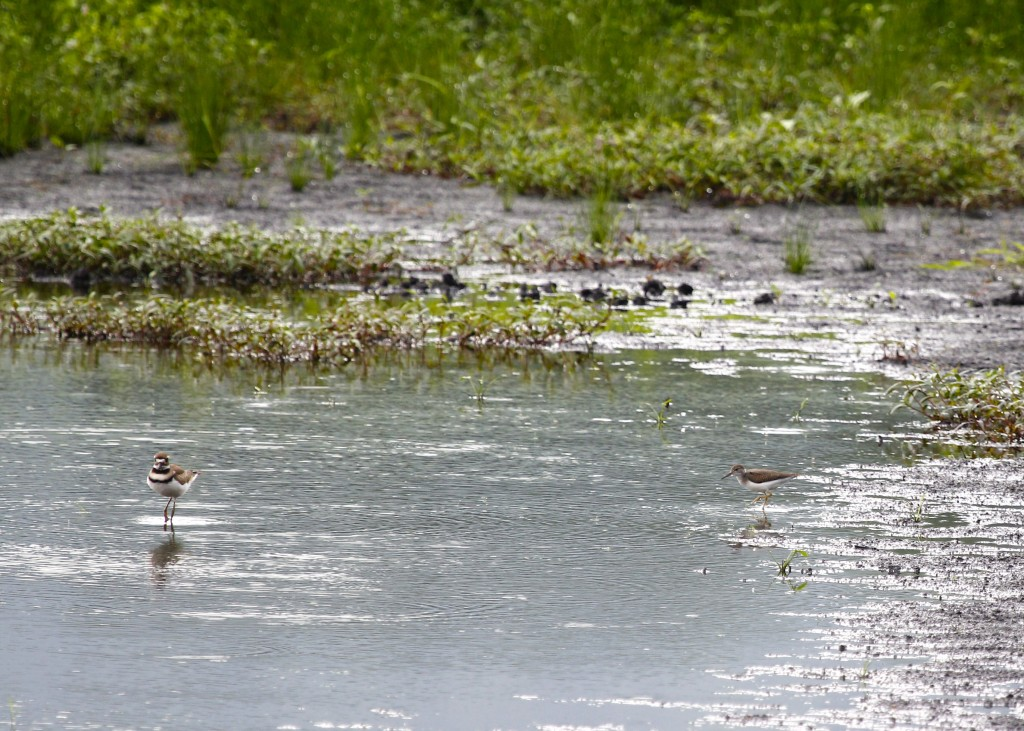 A Killdeer along with a Spotted Sandpiper out at Wallkill River NWR 7/14/13.