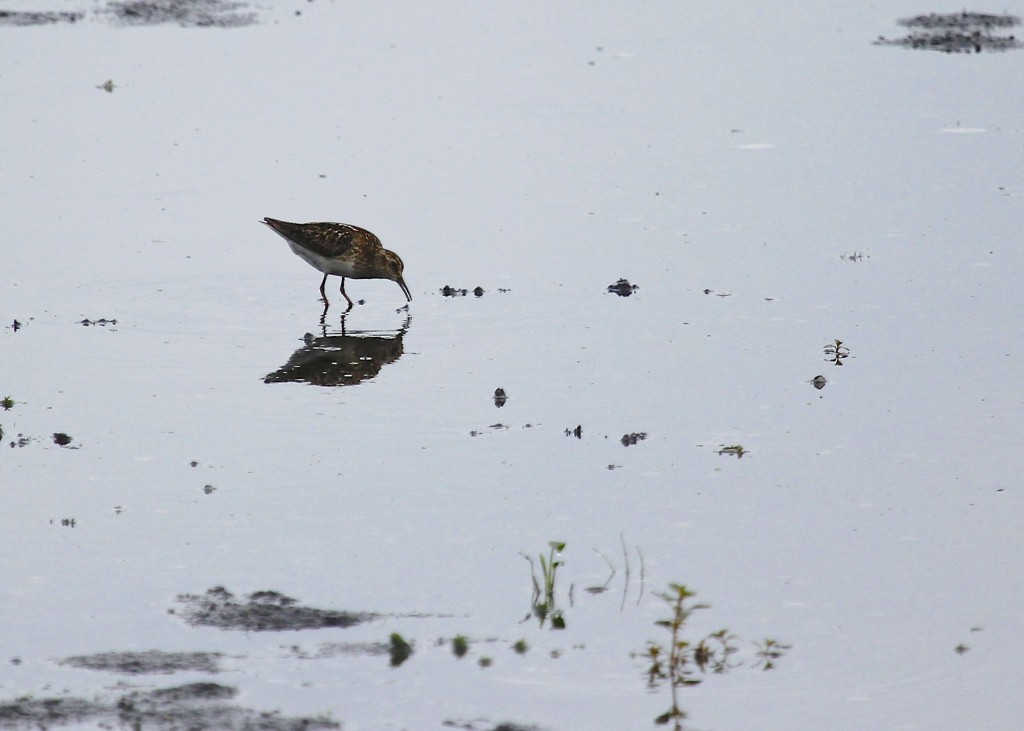 I have this as a Pectoral Sandpiper. Please leave a comment if you know otherwise! Thanks.