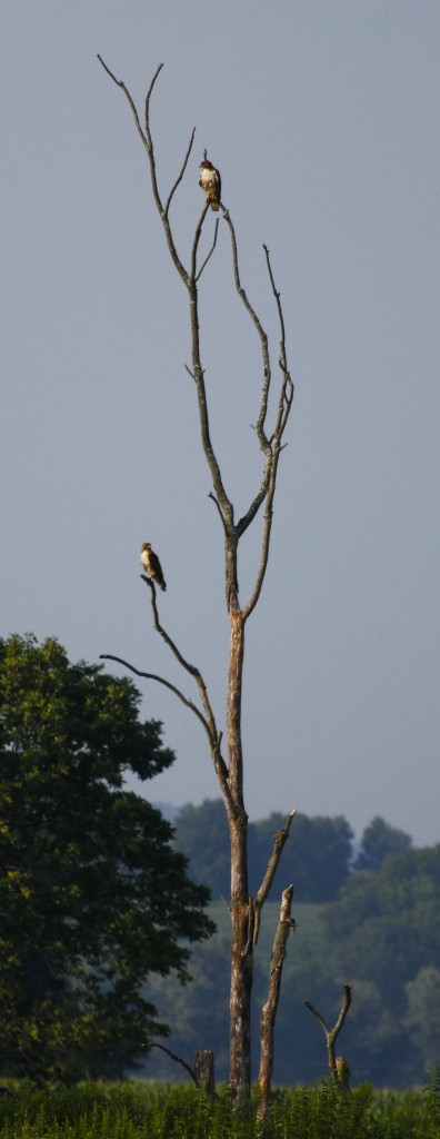 A pair of Red-tail Hawks perched on the north side of Oil City Road, 7/20/13.